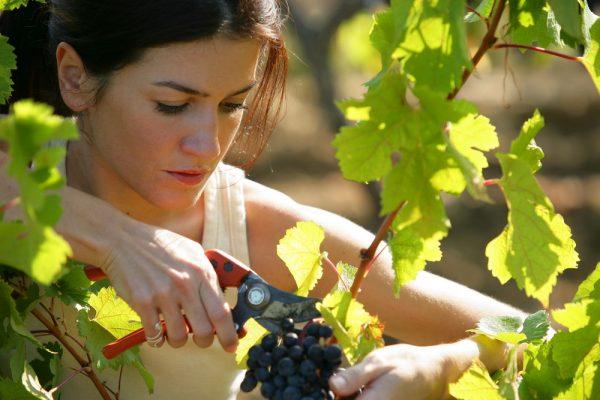 Девушка собирает урожай винограда